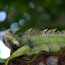Iguana_HousePeters